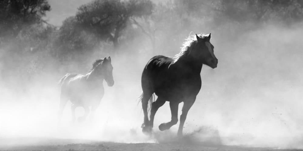 2 тичащи коня в прерията, черно бяла снимка